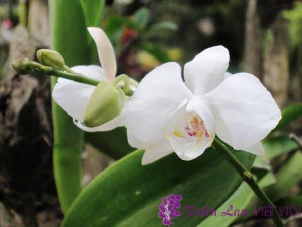 y-nghia-hoa-lan-ho-diep-5