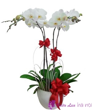 ý nghĩa của hoa lan hồ điệp trắng