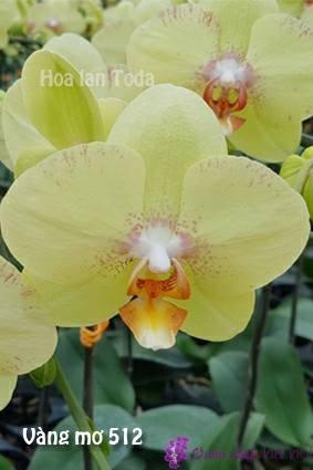 ý nghĩa hoa lan hồ điệp vàng