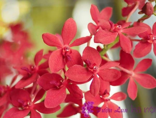 ý nghĩa màu hoa lan hồ điệp
