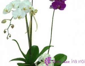 cách chăm lan hồ điệp ra hoa đúng tết
