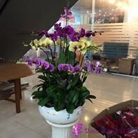 cách chăm sóc lan hồ điệp ra hoa đúng tết