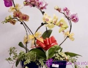 cách trồng hoa lan hồ điệp sau tết