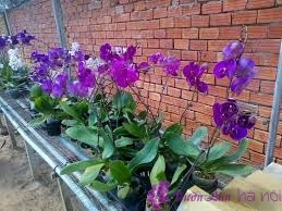 chăm sóc lan hồ điệp khi ra hoa