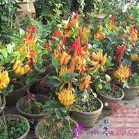 giá hoa phong lan tết 2013