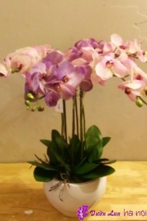 hoa lan hồ điệp để bàn