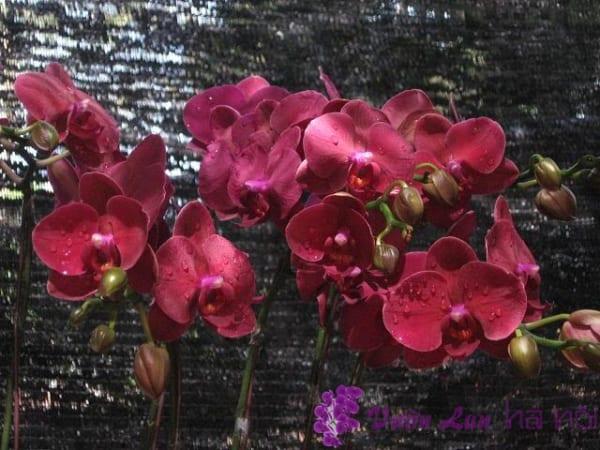 hoa lan hồ điệp đỏ
