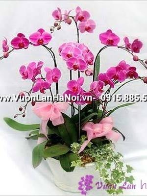 hoa lan hồ điệp màu hồng