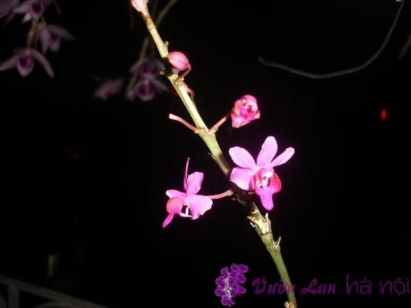 hoa lan hồ điệp rừng
