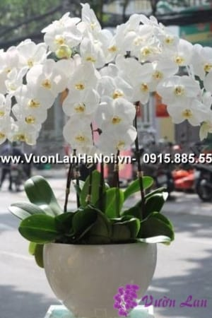 hoa lan hồ điệp trắng