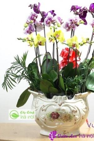 lan hồ điệp ra hoa đúng tết