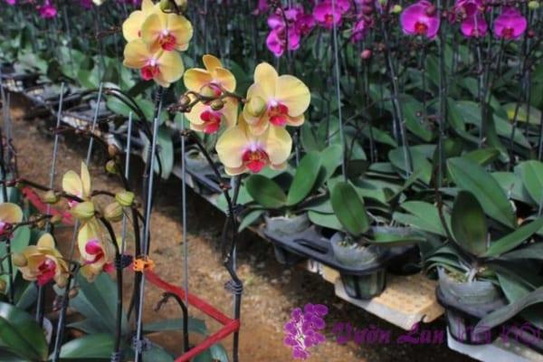 quy trình kỹ thuật trồng hoa lan hồ điệp