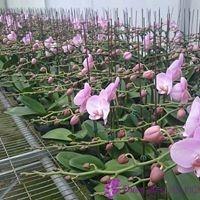 quy trình trồng hoa lan hồ điệp