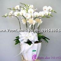 tìm hiểu về hoa lan hồ điệp