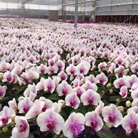 trồng lan hồ điệp ra hoa