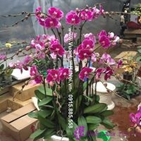 hoa lan tết 2013