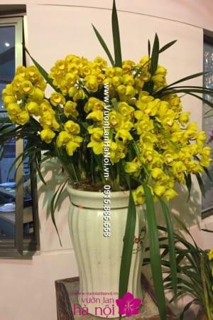 Chậu hoa địa Lan Tết uốn 15 cành