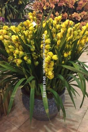 Chậu hoa Địa Lan Sato uốn màu vàng JSC