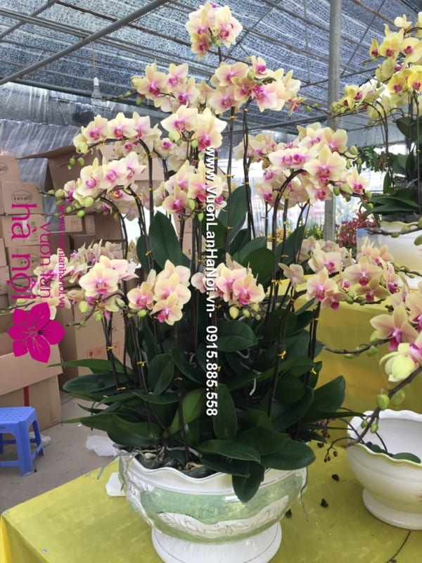 Hoa_Lan_Ho_diep_Tet_dep_0561