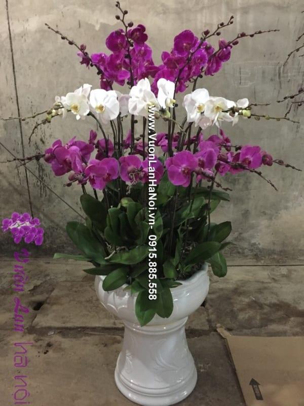 Chậu hoa lan hồ điệp đa sắc Sapa