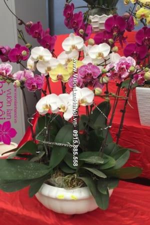 Hoa lan hồ điệp đa sắc Đà Lạt - An nhiên
