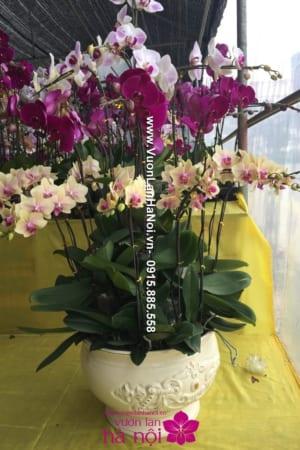 Chậu hoa lan hồ điệp Tết tặng mẹ