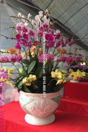 Chậu hồ điệp Tết đa sắc - Xuân hạnh phúc