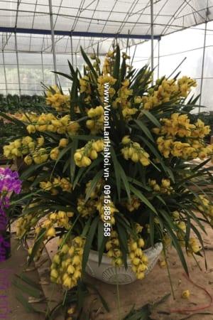 Chậu địa lan màu vàng nhập khẩu