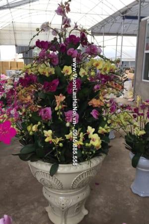 Hoa Lan Ho diep Tet dep 0611 e1484535626560
