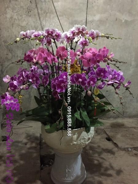 Chậu hoa lan hồ điệp màu tím lai