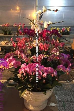 Chậu hoa lan hồ điệp Tết 2017 - Hồng Thắm