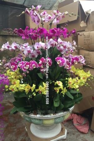 Hoa Lan Ho diep Tet dep 0639 e1484314093617