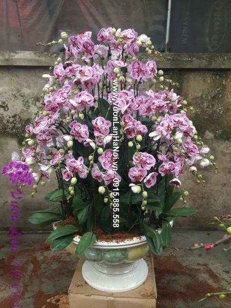 hoa lan hồ điệp đà lạt