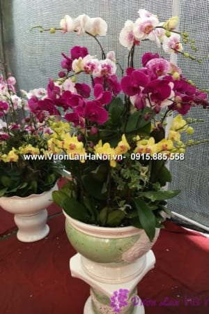 Hoa Lan Ho diep Tet dep 0663