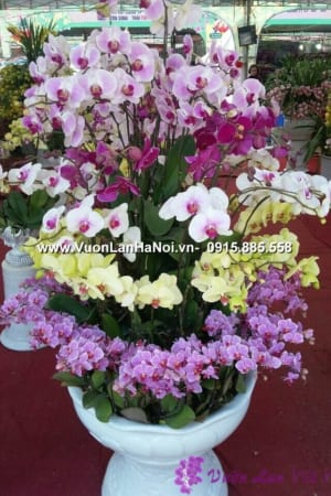 Hoa Lan Ho diep Tet dep 0667