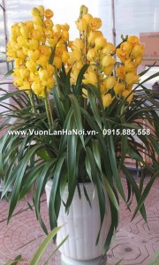 Chậu hoa địa lan Tết màu vàng chanh