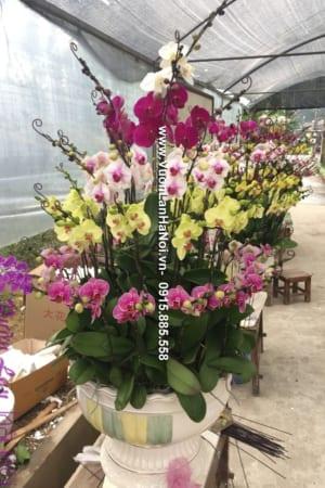 Hoa Lan Ho diep Tet dep 0791 e1484301060533
