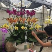 Hoa lan hồ điệp đa sắc đẹp đón Tết