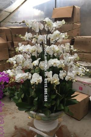 Chậu hoa lan hồ điệp màu trắng tinh khôi chúc Tết