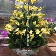 Hoa lan hồ điệp màu vàng đón Tết
