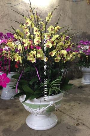 Hoa Lan Ho diep Tet dep 0821 e1484620383791