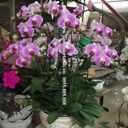 Chậu Lan hồ điệp tím hồng - Xuân về