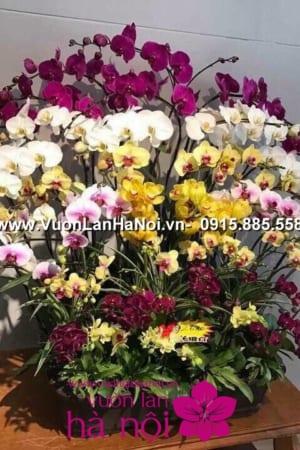 Hoa Lan Ho diep Tet dep 0830