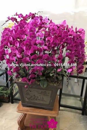 Hoa Lan Ho diep Tet dep 0831