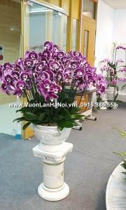 Hoa lan hồ điệp màu tím viền trắng Đà Lạt