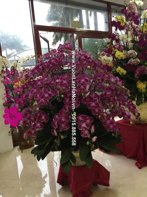 Hoa_Lan_Ho_diep_Tet_dep_0841