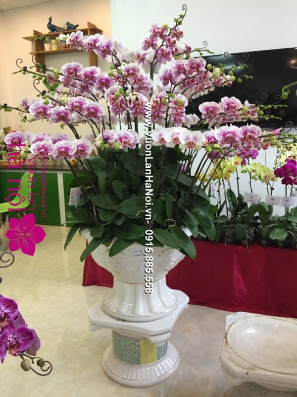 Hoa_Lan_Ho_diep_Tet_dep_0843