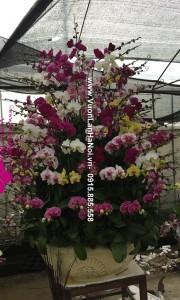 Chậu hoa lan Tết đa sắc - Phúc Lộc đầy nhà