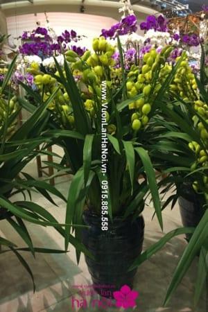 Chậu hoa Địa Lan Sato 9 cành đẹp