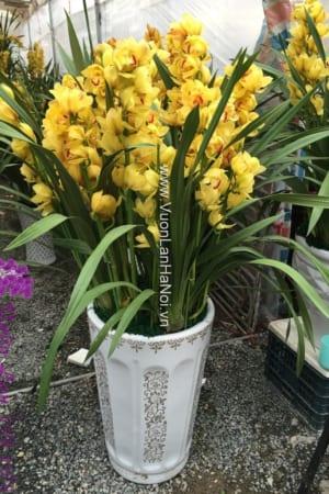 Chậu hoa địa lan Đà Lạt đẹp đón Xuân